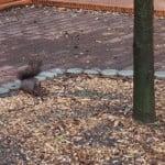 """VIDEO – Primarul zice: """"să-i găsim perechea!"""". Cică BISTRIȚENII vor să doneze veverițe ca să fie închise în voliera din Parcul Municipal! Îl credeți pe cuvânt?"""