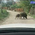 VIDEO: A apărut filmarea cu mistreții prin Bistrița, în zona Valea Ghinzii! Au fost capturați de urgență, dar vă dați seama ce periculos era dacă se-ntâlneau cu un copil!
