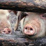 Pesta porcină africană, tot mai aproape de Bistrița-Năsăud. Trei noi focare au fost identificate în județul Maramureș